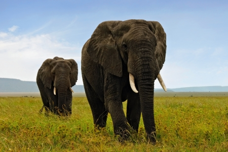 Two adult african elefants walking in savannah photo