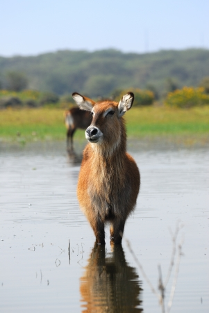 Female Waterbuck antelope on the Naivasha Lake Island, Kenya Stock Photo - 13869758