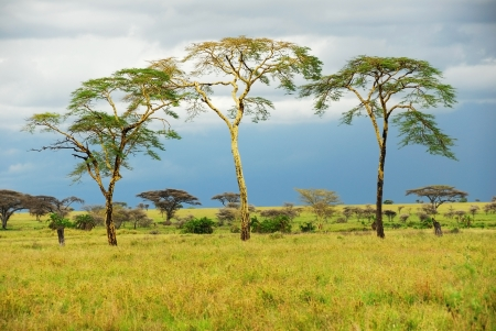 rainy day in the african savannah and three trees Imagens - 13869801