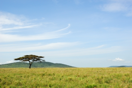 Alone acacia tree in Serengeti national park photo