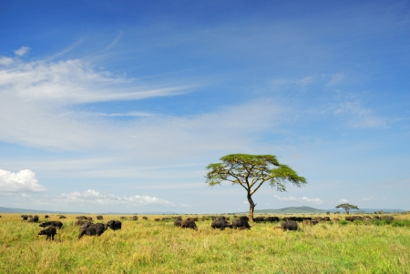 African landscape with a solitary umbrella acacia tree and Cape race buffalos herd, Serengeti, Tanzania Imagens