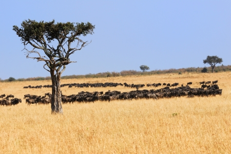 Solitary tree and wildebeest antelopes in the savannah  Great migration of the animals in the  Masai Mara national park, Kenya photo