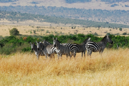 Zebras herd in savannah, Masai Mara, morning light photo