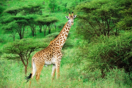 acacia tree: Giraffe in the bush, Serengeti  Tanzania Stock Photo