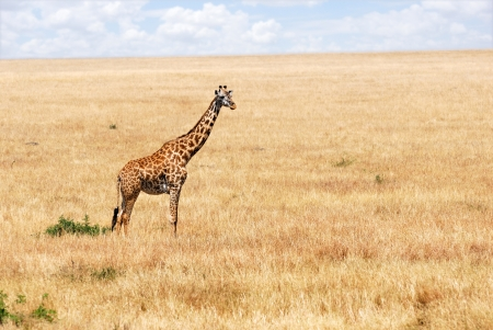 Masai race giraffe in the Masai-Mara national park, Kenya photo