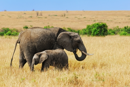 adult kenya: Adult African elephants with baby in the savannah, Kenya Stock Photo