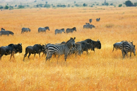 wildebeest: African landscape with antelopes gnu and zebras