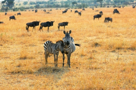 adult kenya: Adult and young zebras standing in the savannah, Kenya Stock Photo