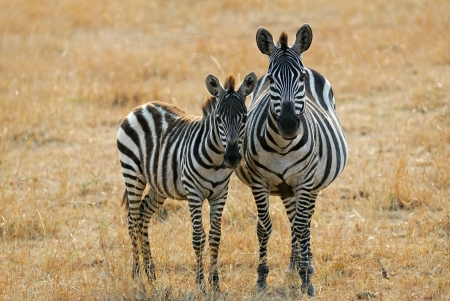adult kenya: Adult and young zebras are standing in the savannah, Kenya