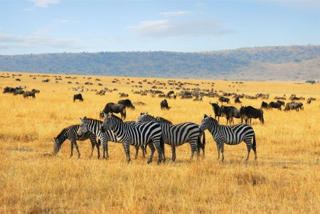 African landscape with zebras and antelopes gnu      Stock Photo