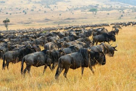 Wildebeest antelopes in the savannah Masai Mara, Kenya photo