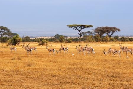 acacia tree: African landscape with gazelles, Amboseli, Kenya