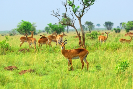 Antelope reedbuck in the Murchison Falls national park, Uganda photo