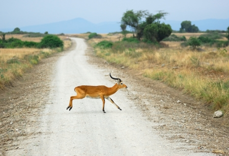 Antelope reedbuck in the Queen Elizabeth national park, Uganda Stock Photo - 13869988