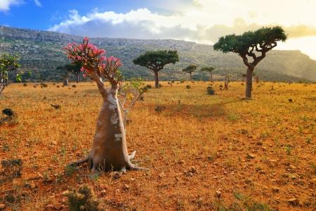 obesum: Flowering bottle tree is endemic tree of Socotra Island