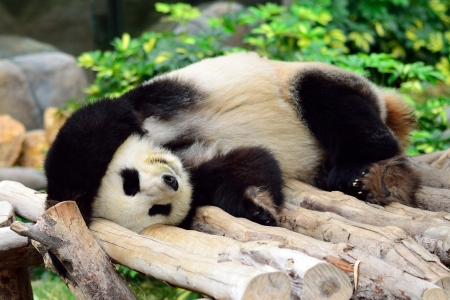 Giant panda bear in the Hong Kong zoo photo