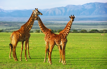 Giraffes group in the Ngorongoro conservation area, Tanzania Stock Photo