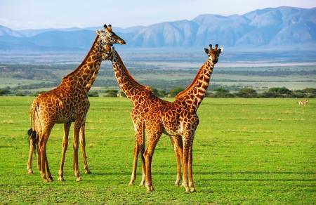 jirafa: Las jirafas del grupo en el área de conservación de Ngorongoro, Tanzania