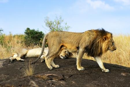 Adult lions on the rock, Masai Mara, Kenya photo