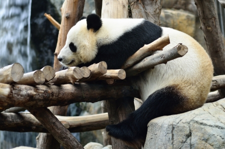 Giant panda bear in the Hong Kong zoo Imagens - 13907261