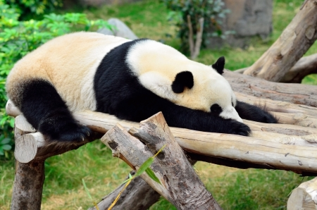 Giant panda bear in the Hong Kong zoo Imagens - 13907262