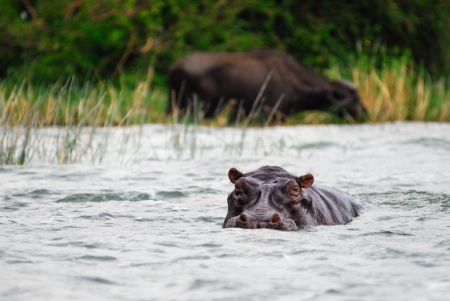Adult hippopotamus in the water, Kazinga channel, Uganda