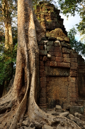 Giant banyan  tree covering the stones of the fascinating temple of Ta Prohm in Angkor Wat at evening, Siem Reap, Cambodia Stock Photo - 13907426