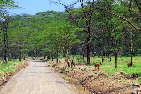 Wildlife in eastern Africa  Dirty road in the tropical forest photo