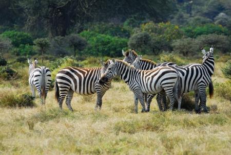 kenya: Herd of plain zebras on the Naivasha Lake Island, Kenya Stock Photo