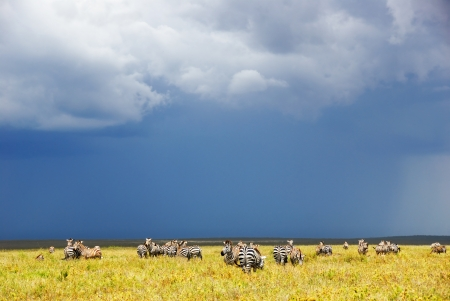 Zebras herd in the savannah of the Serengeti national park after rain, Tanzania