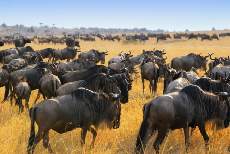migrating animal: Great migration of antelopes wildebeest, Masai Mara, Kenya