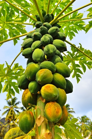 Bunch of papayas hanging from the tree Imagens