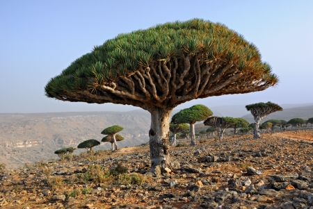 Endemic plant Dragon Blood Tree in the island Socotra, Yemen