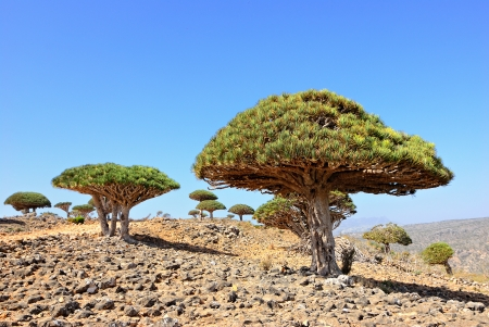 endemic: Endemic plant Dragon Blood Tree in the island Socotra, Yemen