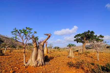 Endemic trees of Socotra Island, Yemen  Stock Photo - 13939639
