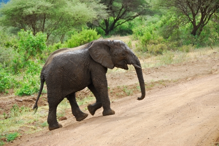 Little muddy baby elephant is crossing a road photo