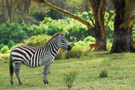 lake naivasha: Zebra in the national park Naivasha lake, Kenya Stock Photo