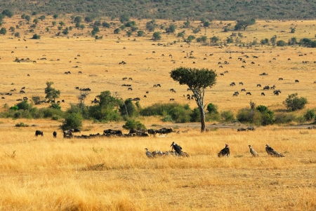 Wildebeest antelopes and vultures in the savannah Masai Mara, Kenya photo