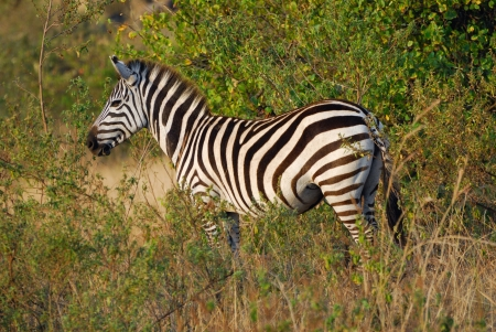 A lonely zebra stand in the bush at evening, Masai Mara national park, Kenya photo