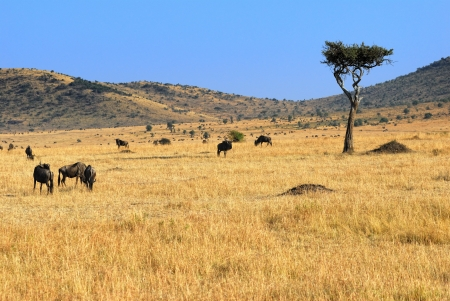 Acacia tree and wildebeest antelopes in the savannah Masai Mara, Kenya photo