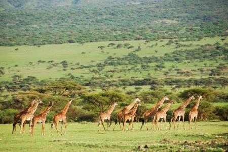 tableland: Giraffes herd in savannah