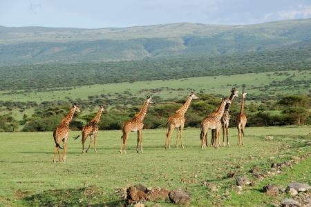 Giraffes herd in the african savannah photo
