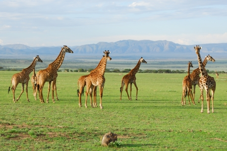Giraffes herd in the african savannah Imagens