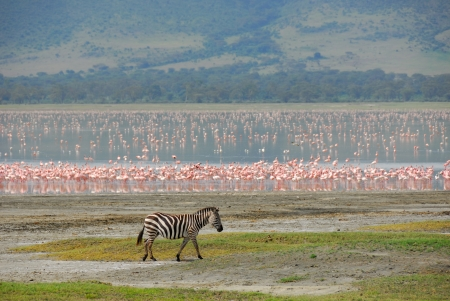 Zebra and pink flamingos