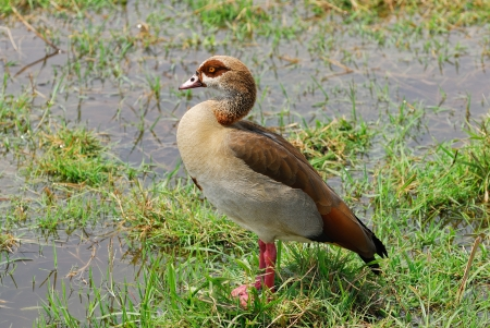 lonely bird: Lonely bird on an African swamp
