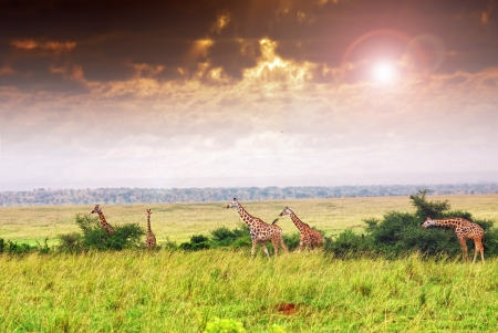 flecks: Masai race giraffes in the african savannah under flecks of sunlight , the Murchison falls park, Uganda