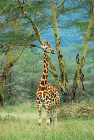 nakuru: Lonely masai race giraffe in the Lake Nakuru national