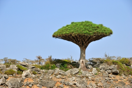 Endemic plant Dragon Blood Tree in the island Socotra Imagens