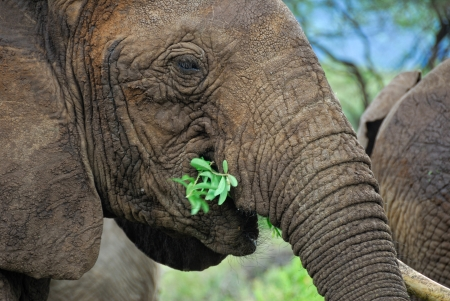 Close up African elephant eating branches