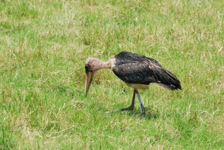 Young marabou stork in the national park Nakuru Lake, Kenya photo